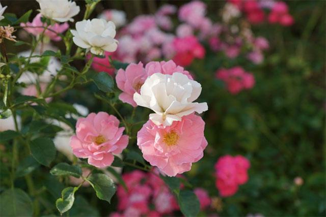 ý nghĩa hoa tường vi hồng
