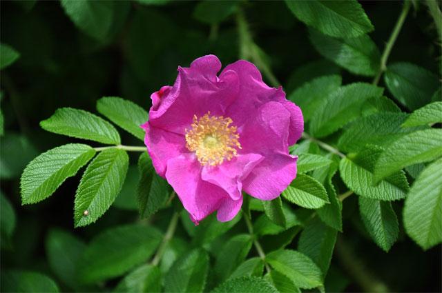 ý nghĩa hoa tường vi tím