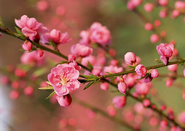 cách làm cho hoa đào nở nhanh hình ảnh 3