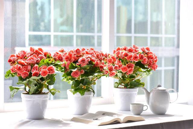 Những loại hoa nên để trong nhà ngày tết - hoa hải đường