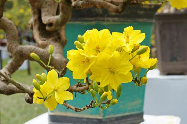 Những loại hoa nên để trong nhà ngày tết - hoa mai