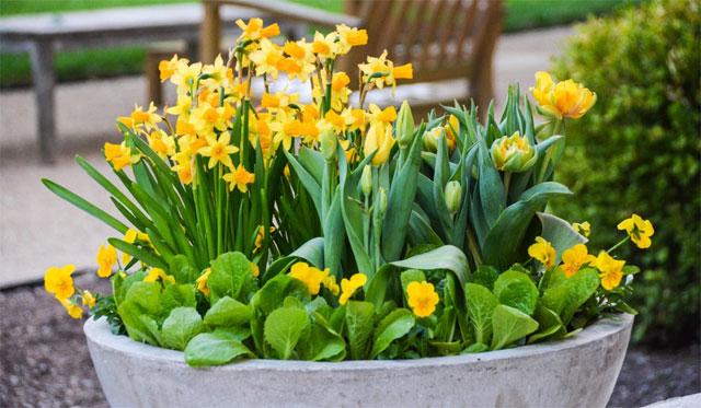 Những loại hoa nên để trong nhà ngày tết - hoa thủy tiên