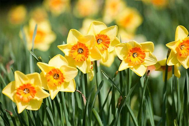 ý nghĩa của hoa thủy tiên trong đời sống