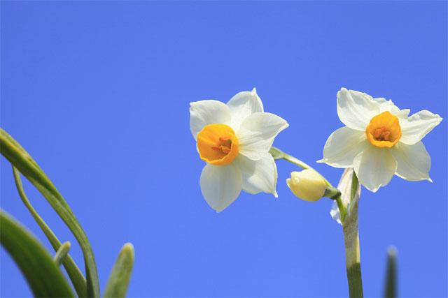 ý nghĩa của hoa thủy tiên theo màu sắc