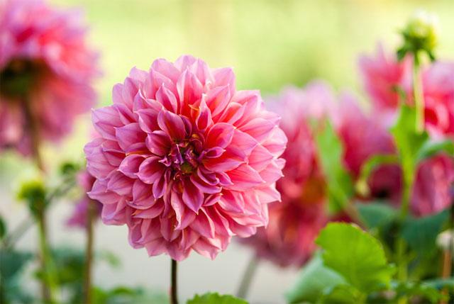 ý nghĩa của hoa thược dược theo màu sắc